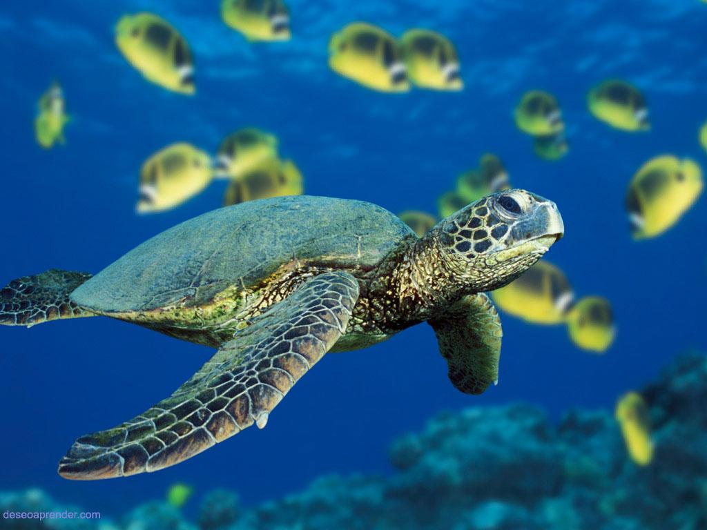 Una tortuga de mar verde nadando cerca de un banco de peces mariposa en Hawai.