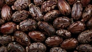 semillas ricinia