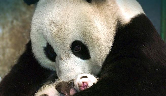 Grito-madre-oso-panda-muerte-zoo-Washington