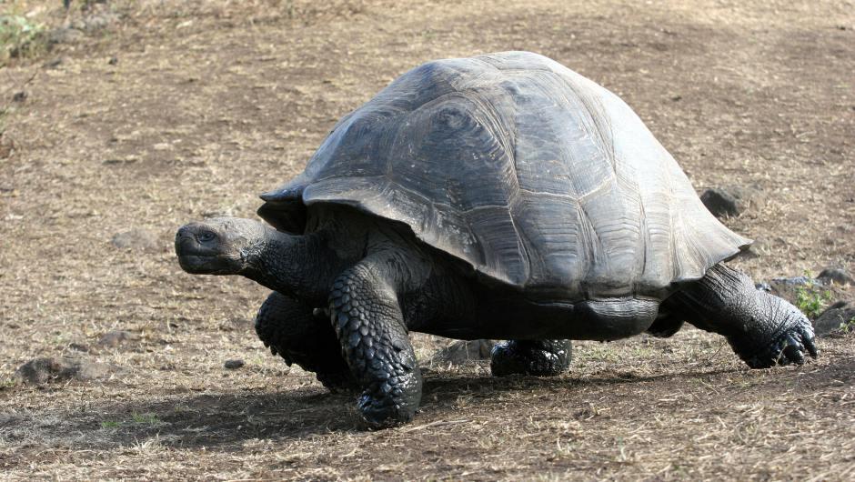 Una tortuga Galápagos en la Isla Santa Cruz. (Crédito:RODRIGO BUENDIA/AFP/Getty Images)