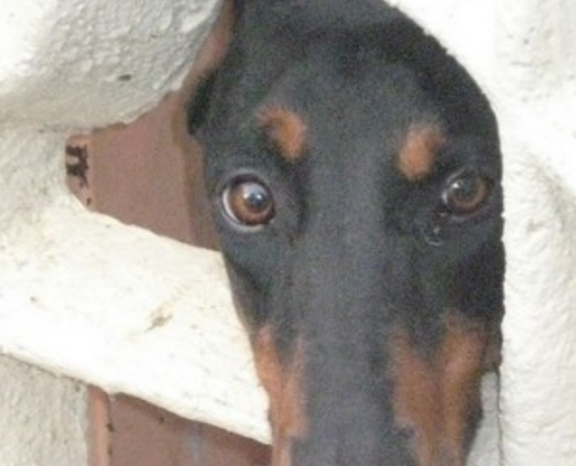 Perro dominicano