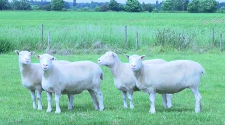Clones de Dolly