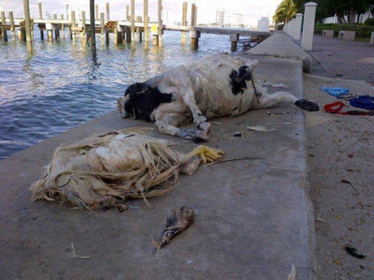 miami playa animales muertos