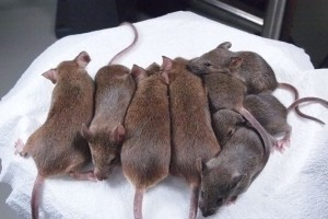 ratone-clonados