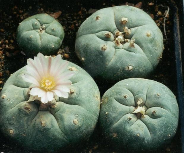 cactus popeye
