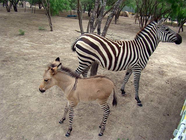 cebrasno-reynosa-zoologico-23042014-2